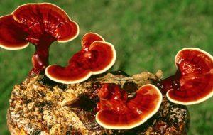 I funghi come medicina