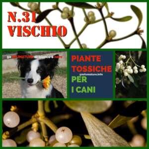 PIANTE TOSSICHE PER CANI 31 vischio
