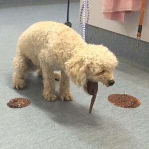 _Cane che vomita dopo aver mangiato cioccolato